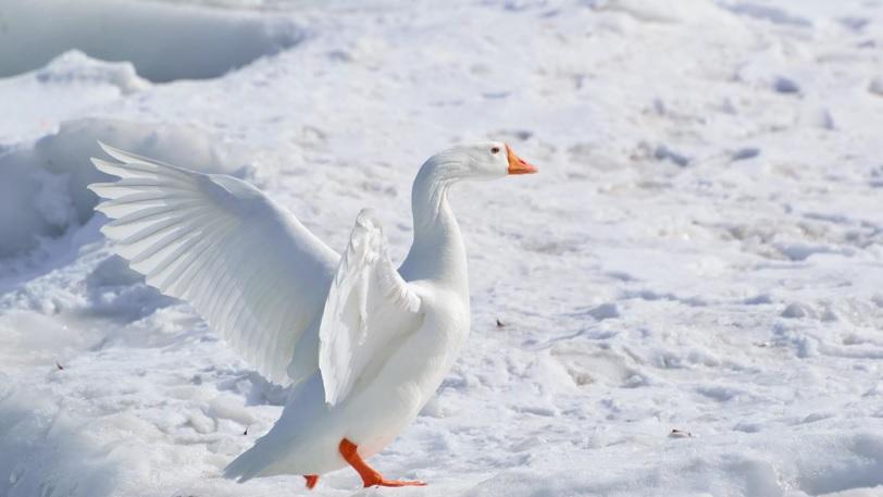чем кормить гусей зимой